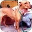 Photo 2 - Rhodesian Ridgeback/Hound (Unknown Type) Mix Dog for adoption in New York, New York - Felicity