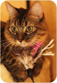 Domestic Shorthair Kitten for adoption in Chandler, Arizona - Bailey