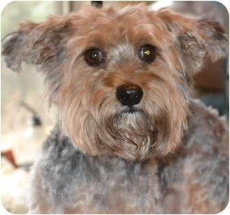 Yorkie, Yorkshire Terrier Dog for adoption in Greensboro, North Carolina - Bear