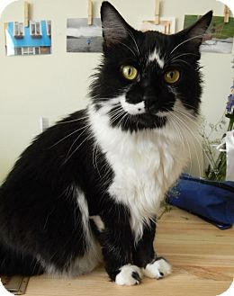Domestic Longhair Cat for adoption in Mt. Prospect, Illinois - Chanel