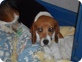 Beagle Dog for adoption in Buffalo, New York - Mascara Jenny