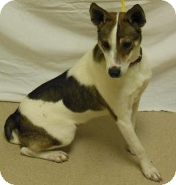 Rat Terrier Mix Dog for adoption in Gary, Indiana - Phoebe