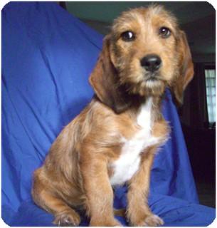 Basset Hound Mix Puppy for adoption in El Cajon, California - BRAD