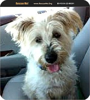 Schnauzer (Miniature)/Poodle (Miniature) Mix Dog for adoption in Boulder, Colorado - Max