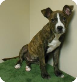 Pit Bull Terrier Mix Dog for adoption in Gary, Indiana - Sarah