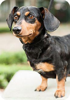 Dachshund Dog for adoption in Dallas, Texas - Baby