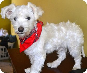 Maltese/Poodle (Miniature) Mix Puppy for adoption in San Diego, California - Bobby