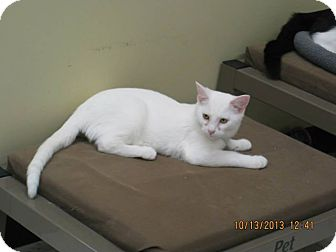 Domestic Shorthair Cat for adoption in West Dundee, Illinois - Commando