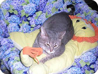 Domestic Shorthair Cat for adoption in New Castle, Pennsylvania - Roman