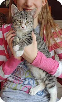 Domestic Shorthair Kitten for adoption in Homewood, Alabama - Chips