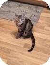 Domestic Shorthair Kitten for adoption in Edmonton, Alberta - Moses