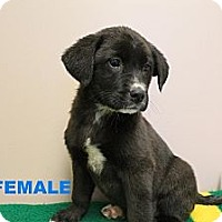 Adopt A Pet :: JADE/Looking for a Puppy? - Glastonbury, CT