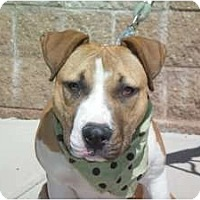 Adopt A Pet :: Harley - Colorado Springs, CO