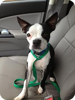 Boston Terrier Dog for adoption in Hagerstown, Maryland - Perla Oy Vey