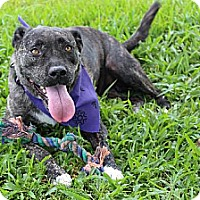 American Staffordshire Terrier/American Bulldog Mix Dog for adoption in Thibodaux, Louisiana - Bianca K91-7436