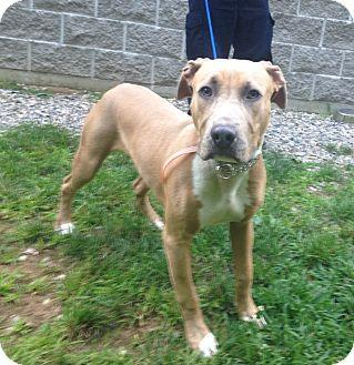 Great Dane/Hound (Unknown Type) Mix Dog for adoption in Bloomfield, Connecticut - Splash