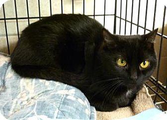 Domestic Shorthair Cat for adoption in Westville, Indiana - Selene