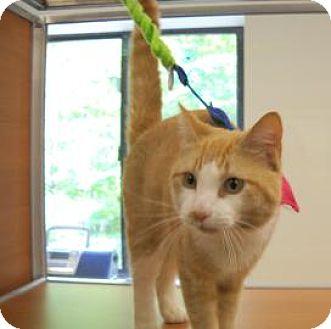 Domestic Shorthair Cat for adoption in Gloucester, Massachusetts - Sparkie
