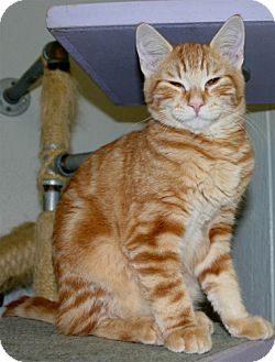 Domestic Mediumhair Kitten for adoption in Salem, Oregon - Rocky