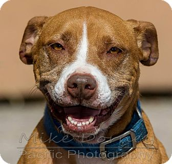 Pit Bull Terrier Dog for adoption in Westminster, California - Cilla