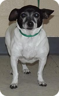 Jack Russell Terrier Mix Dog for adoption in North Bend, Washington - Buttons
