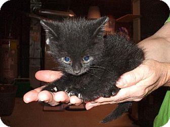 Domestic Mediumhair Kitten for adoption in Lenexa, Kansas - Konrad