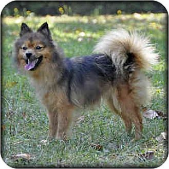 Pomeranian Dog for adoption in Rutherfordton, North Carolina - Bugsy