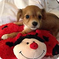 Adopt A Pet :: Princess BR - Pinellas Park, FL