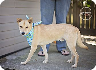 Shiba Inu/Basenji Mix Dog for adoption in Seattle, Washington - Tommy - Friendly small lab mix