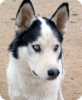 Siberian Husky Mix Dog for adoption in Cedar Crest, New Mexico - Haisten