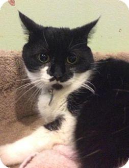 Domestic Shorthair Cat for adoption in Breinigsville, Pennsylvania - Piztachio