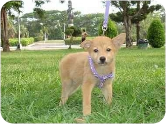 Shiba Inu/Terrier (Unknown Type, Small) Mix Puppy for adoption in Lomita, California - Sindy Belle