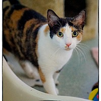 Domestic Shorthair Cat for adoption in Freeport, New York - January