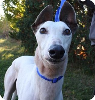 Greyhound Mix Dog for adoption in Aurora, Indiana - Letty