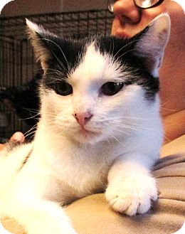 Domestic Shorthair Kitten for adoption in Reeds Spring, Missouri - Sirius