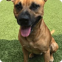 American Pit Bull Terrier Mix Dog for adoption in Covington, Louisiana - Millerville