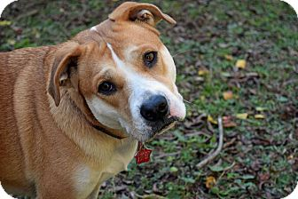 American Staffordshire Terrier/Australian Shepherd Mix Dog for adoption in Pensacola, Florida - Juju