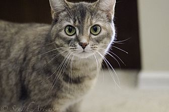 Domestic Shorthair Cat for adoption in Fairborn, Ohio - Ruby