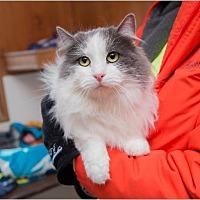 Domestic Longhair Cat for adoption in Corinne, Utah - Bluejay