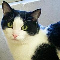 Domestic Shorthair Cat for adoption in Tulsa, Oklahoma - Yadi