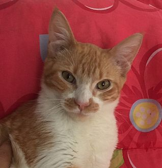 Domestic Shorthair Kitten for adoption in San Diego, California - ANDY