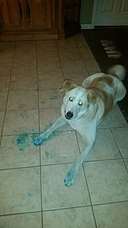 Labrador Retriever/Akita Mix Dog for adoption in Wesley Chapel, Florida - Betsy