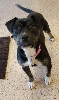 English Bulldog Mix Dog for adoption in Fergus Falls, Minnesota - Nettie