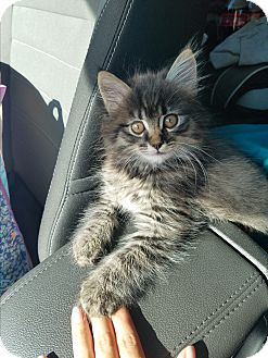 Maine Coon Kitten for adoption in Montclair, California - Buttons