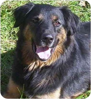 Rottweiler/Chow Chow Mix Dog for adoption in Howes Cave, New York - Casey