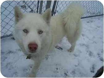 Siberian Husky Dog for adoption in Belleville, Michigan - White Fang