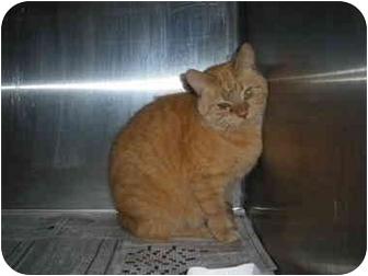 "Domestic Shorthair Cat for adoption in MARION, Virginia - ""Tigger"""