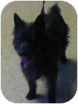 Scottie, Scottish Terrier/Cairn Terrier Mix Dog for adoption in Rochester, New Hampshire - Tiffany