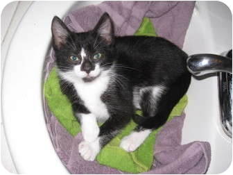 Domestic Mediumhair Kitten for adoption in Irvine, California - Rosie