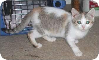 Calico Kitten for adoption in Colmar, Pennsylvania - McGinley